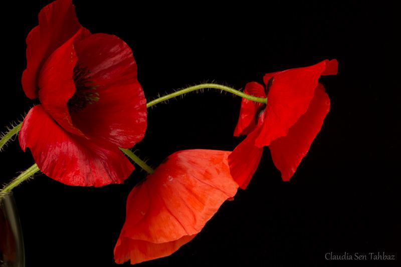 poppy red background - photo #44
