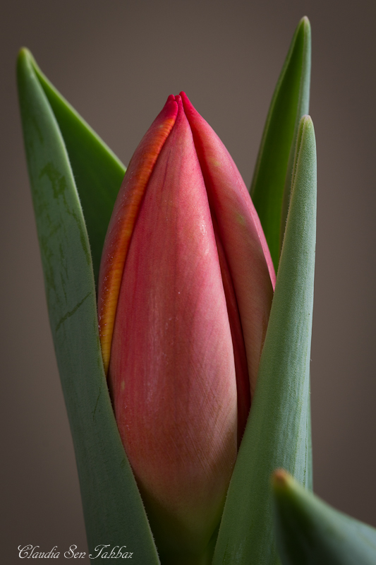 20130227-_MG_2410-V1-Tulips