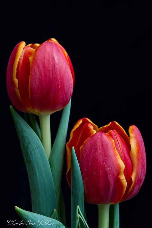 20130228-_MG_2435-V1-Tulips