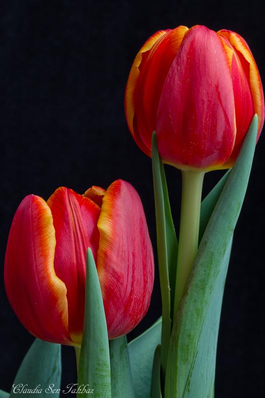 20130228-_MG_2453-V1-Tulips