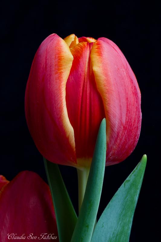 20130228-_MG_2455-V1-Tulips