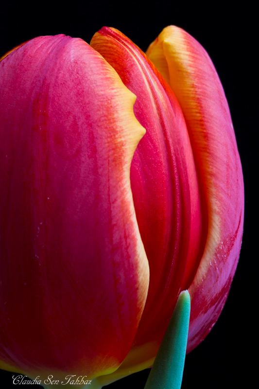 20130228-_MG_2473-V1-Tulips