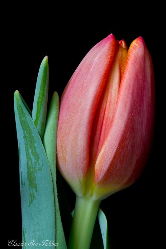20130301-_MG_2522-V1-Tulips