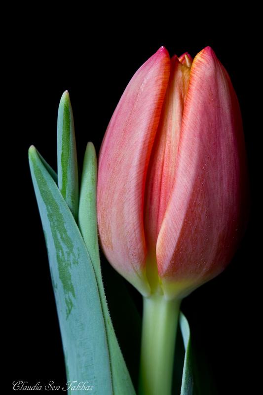 20130301-_MG_2528-V1-Tulips