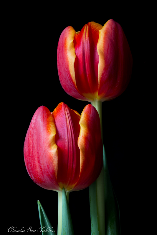 20130301-_MG_2534-V1-Tulips