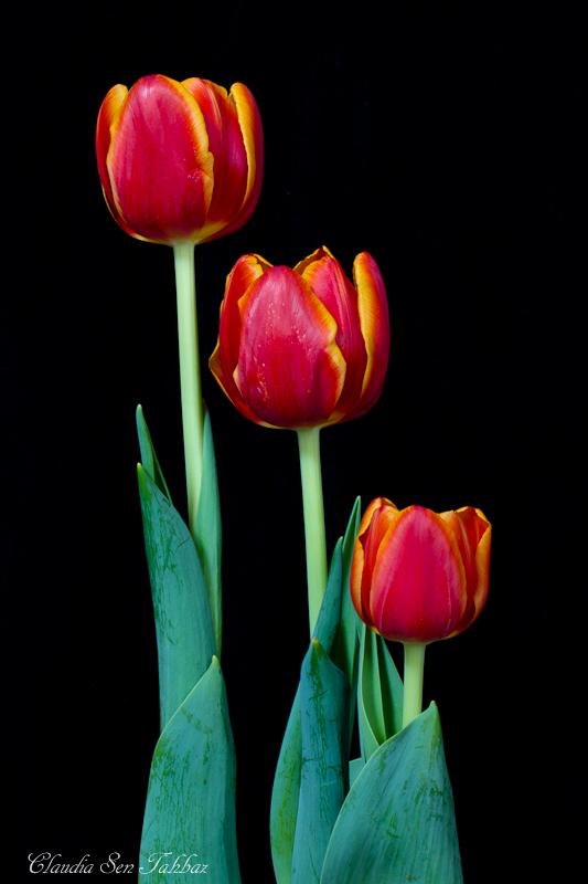 20130302-_MG_2535-V1-Tulips
