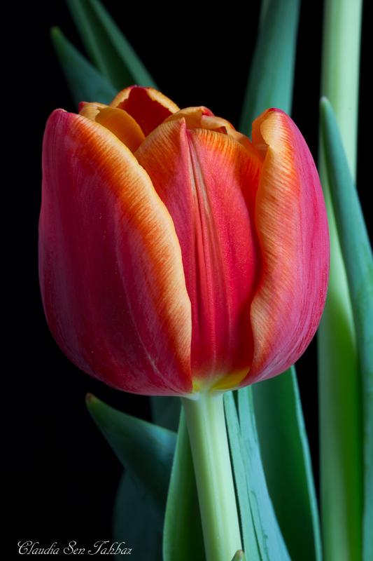 20130302-_MG_2585-V1-Tulips