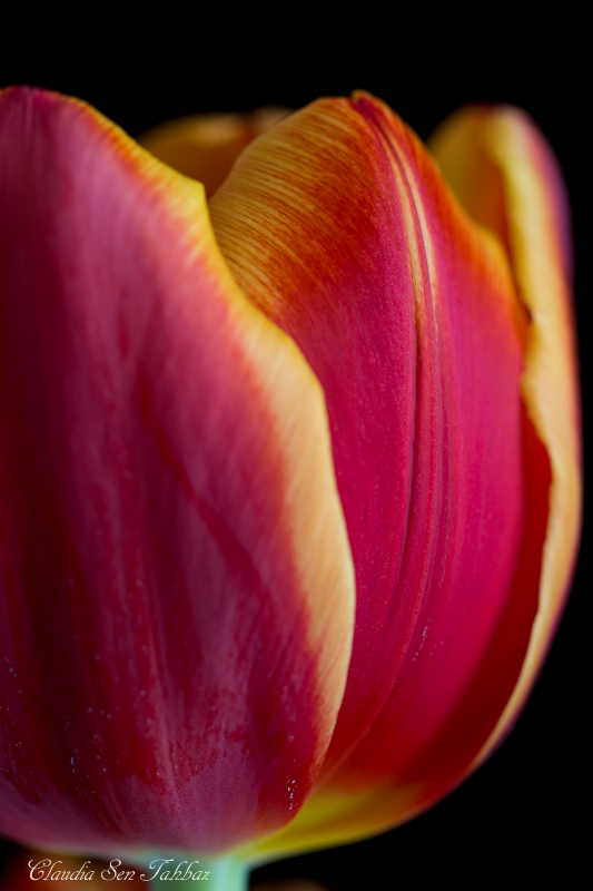 20130302-_MG_2609-V1-Tulips