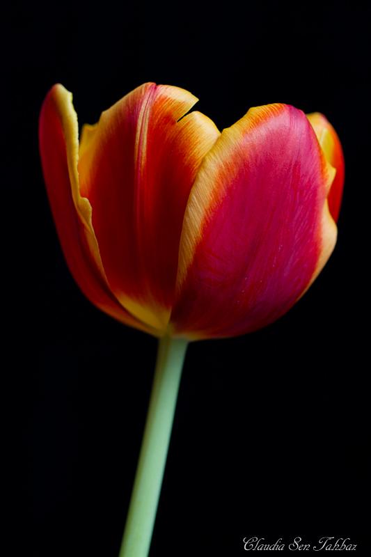 20130303-_MG_2634-V1-Tulips