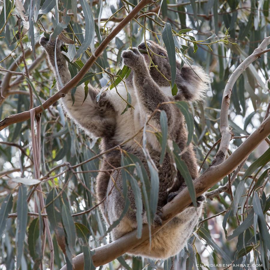 20161017-3B8A2864-KangarooIsland4