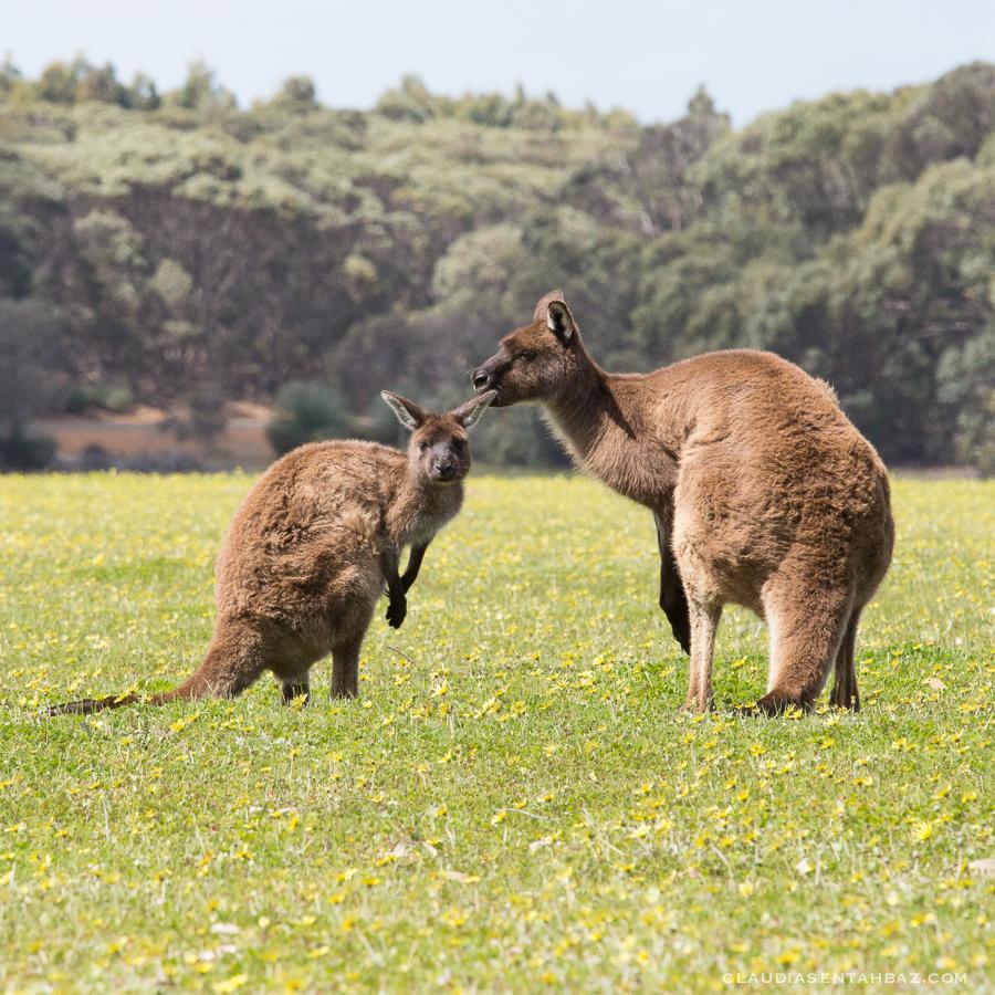 20161017-3B8A2878-KangarooIsland5