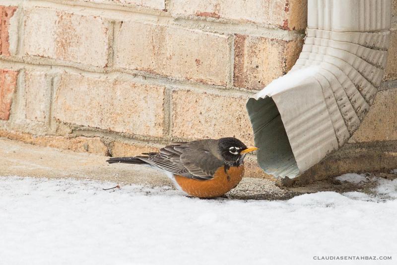20160215-3B8A5823-winter birds