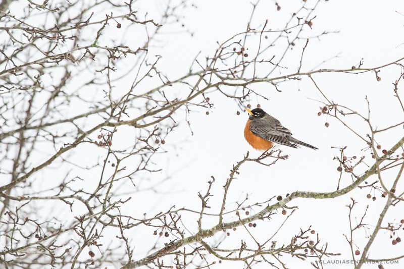20160215-3B8A5843-winter birds