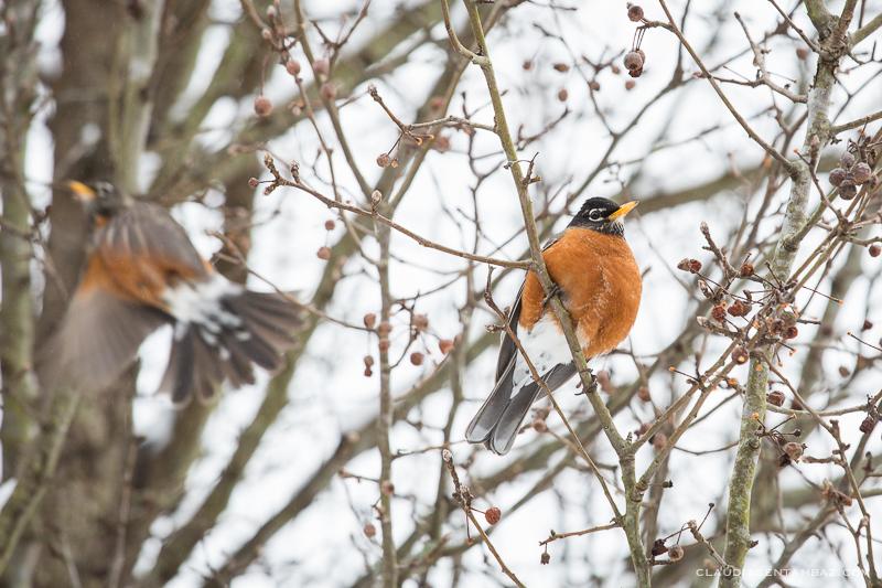 20160215-3B8A5851-winter birds