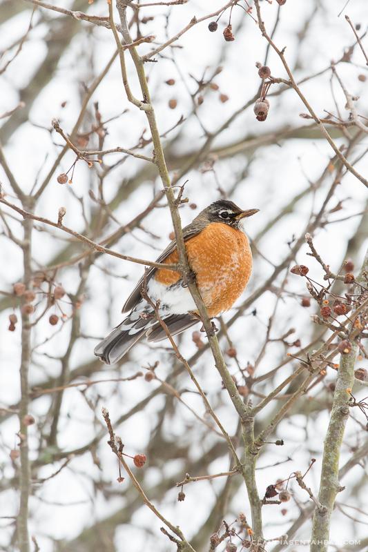 20160215-3B8A5853-winter birds