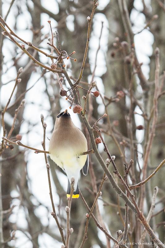 20160215-3B8A5862-winter birds