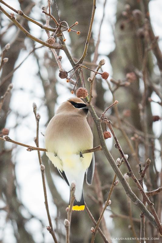 20160215-3B8A5863-winter birds