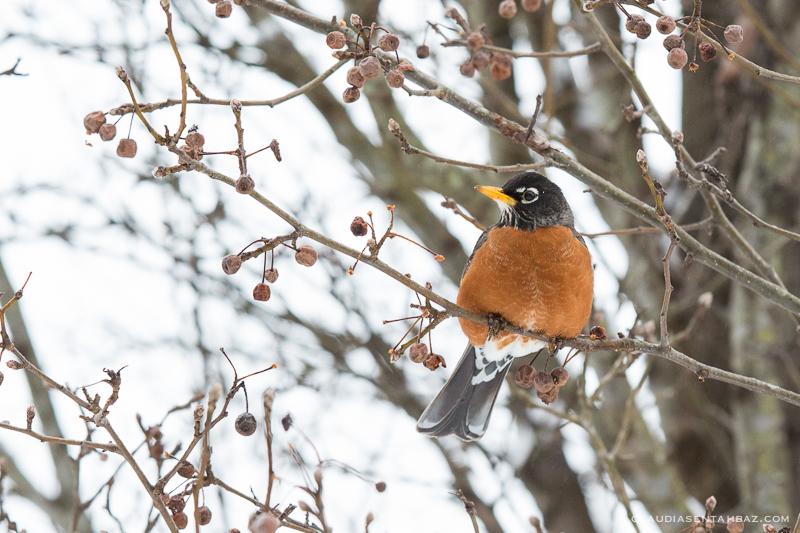 20160215-3B8A5865-winter birds