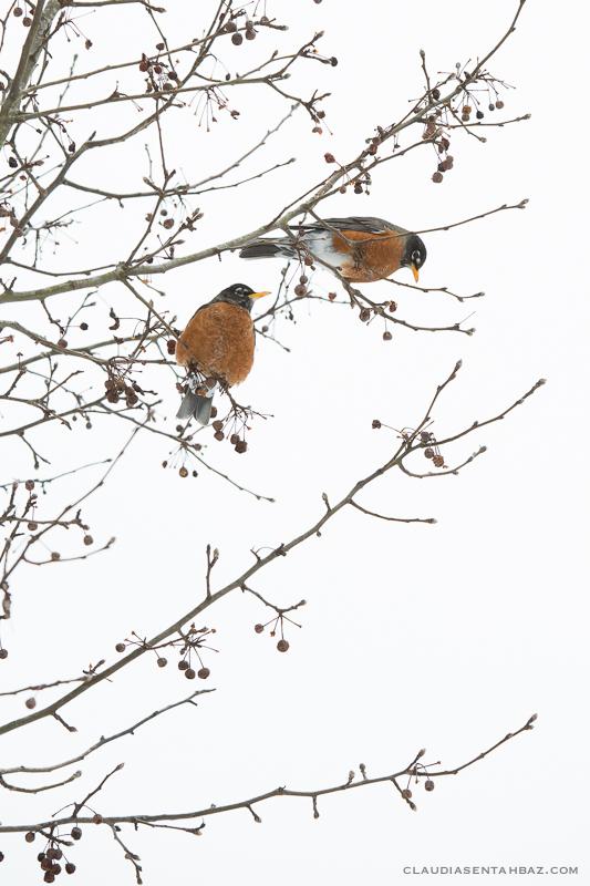 20160215-3B8A5896-winter birds