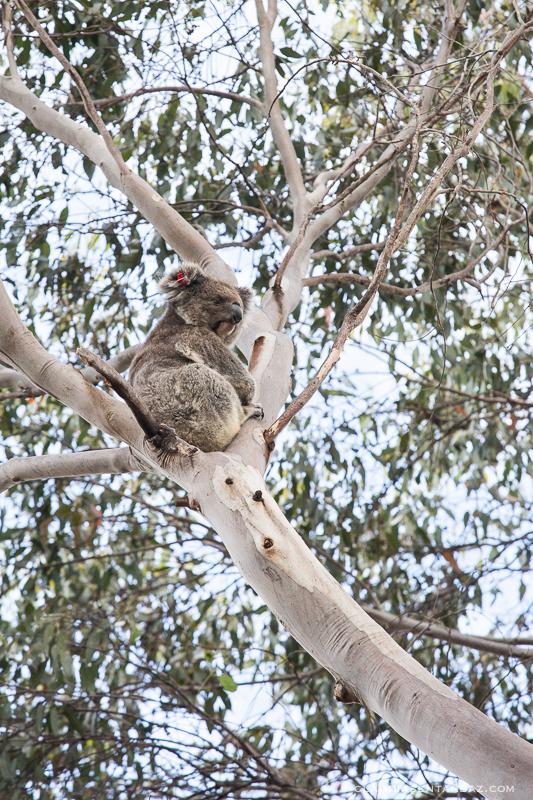 20161018-3B8A3066-KangarooIsland9